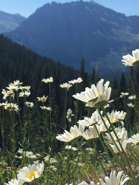 Glacier Park wildflowers