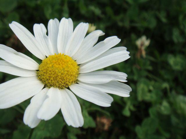 Finland daisy 2009