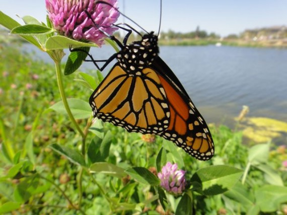 beautiful spring time midwest butterfly