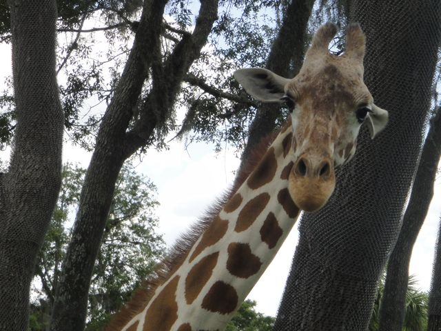 Giraffe at Disney's Animal Kingdom Safari