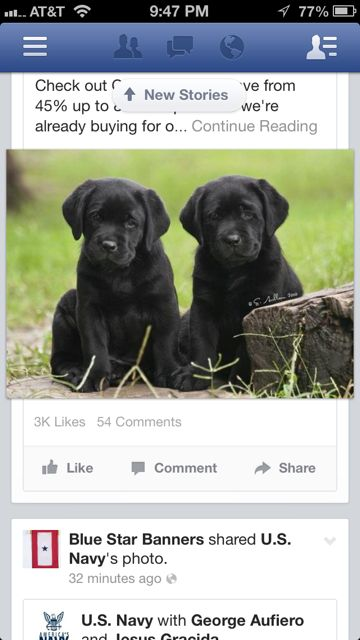 Two Black Lab puppies