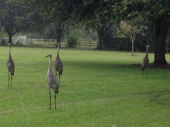 Four Florida Sand Hill Cranes in home owner's yard