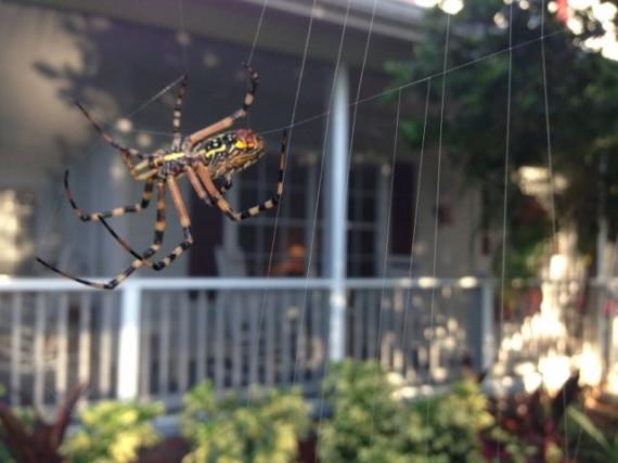 Central Florida Garden spider