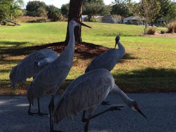 Closeup of four Florida Sandhill Cranes