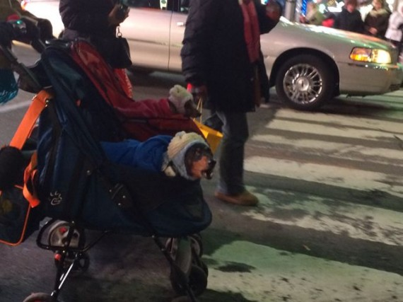 Dogs dressed up like kids in baby strollers