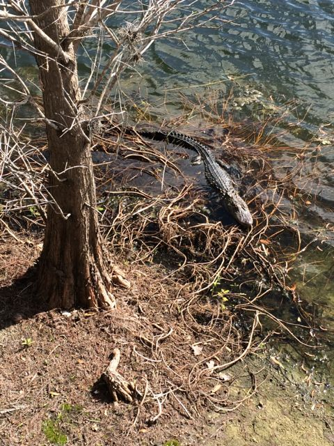 Florida alligator in Golf course waterway