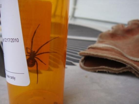 Florida Black Widow spider