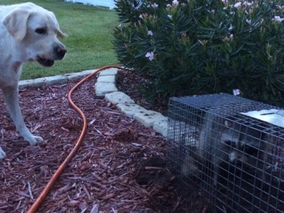 Dog barking at raccoon in live  trap