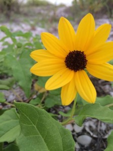 Closeup of Sanibel Island Beach Sunflower