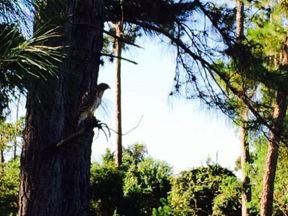 Hawk on tree branch