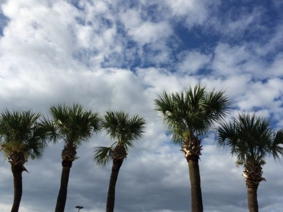 Five Florida Sable Palm trees