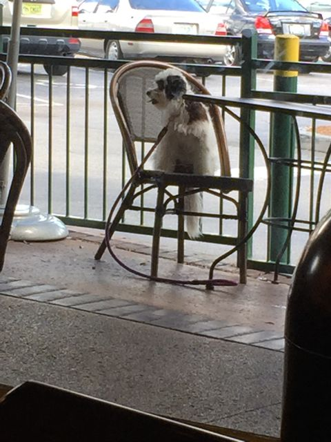 small dog sitting on outdoor cafe chair