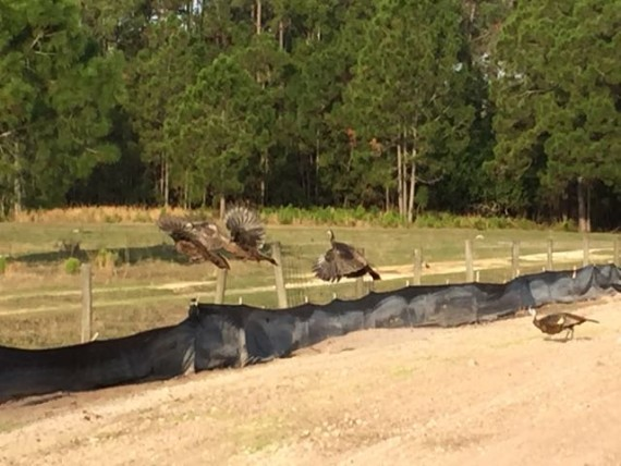Florida Wild Turkeys