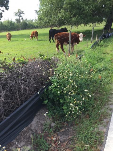 Florida Cows