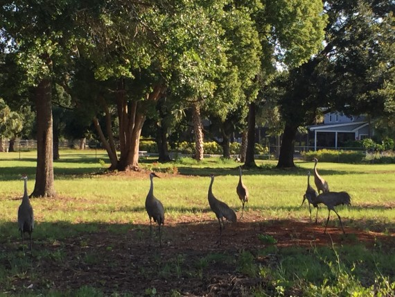 Florida Sand Hill Cranes