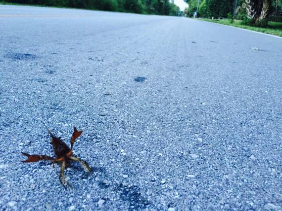Crawfish crossing the road