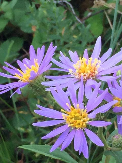 Glacier Park wild flowers