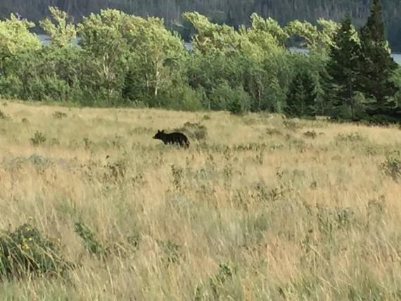 Black Bear in Glacier Park