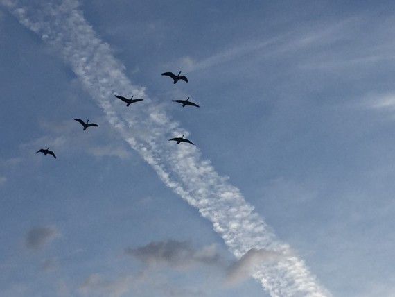 Geese in v formation