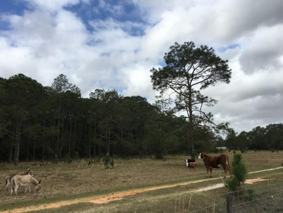 Farm animals near Disney University