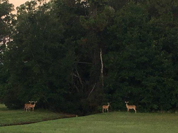 Florida deer near Walt Disney World