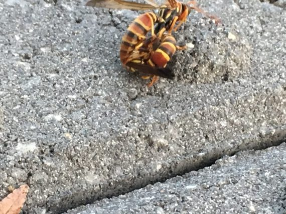 Florida paper wasps