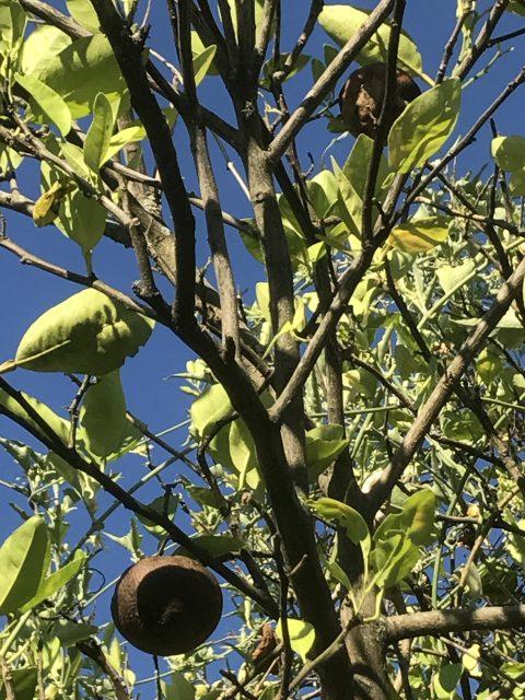 fruit rotting on the vine