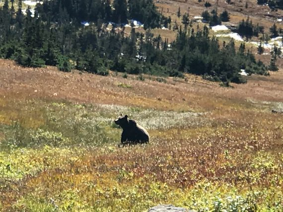 Grizzly Bear at Logan Pass