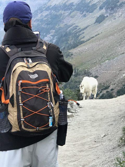 Highline Trail Mountain goat encounter