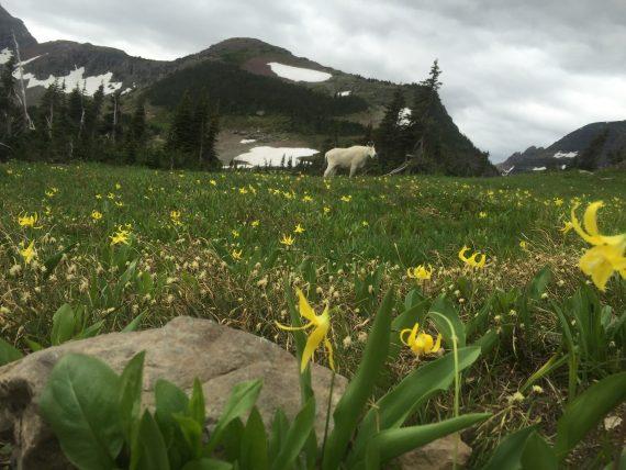 Glacier Mountain Goat