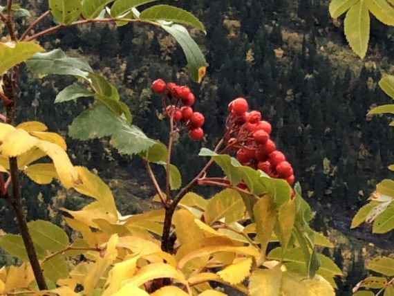 Mountain Ash berry