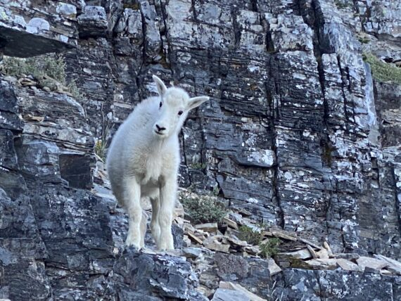 Baby mountain goat on trail