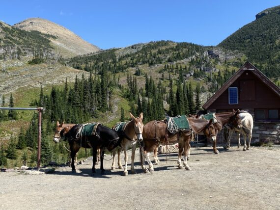 Mule team in mountains