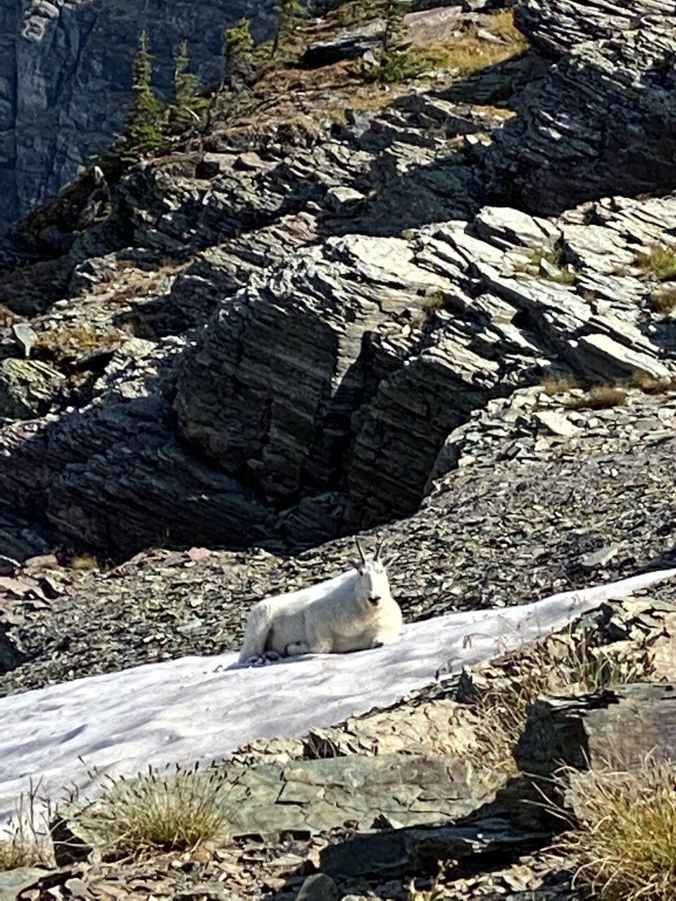 mountain goat in mountains