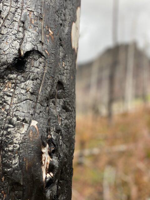 burnt pine tree